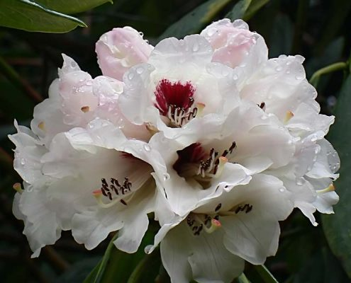 Rhododendron in Bhutan